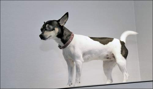 amerikansk toy terrier