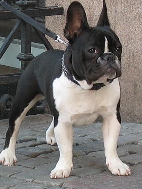 Fransk Bulldog Litenhund Se