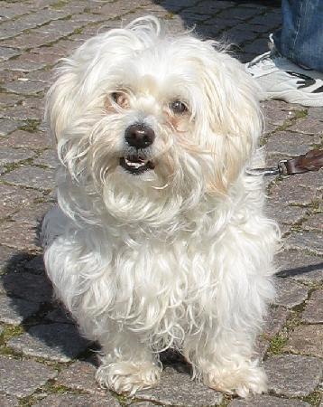 bichon havaneser hund