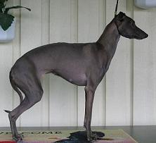 Italiensk vinthund