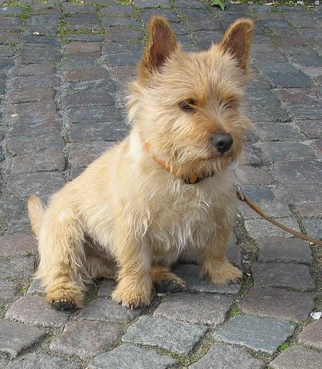 Norwichterrier