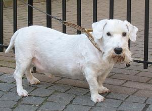 Sealyhamterrier
