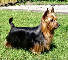 Silky Terrier from Wikipedia