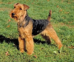 Welshterrier