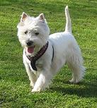west highland white terrier westie l s om rasen p. Black Bedroom Furniture Sets. Home Design Ideas